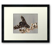 tiger bee fly (anthrax tigrinus) Framed Print
