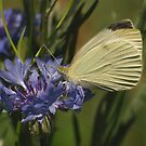 Cabbage white by Michael Rucci