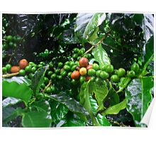 Costa Rica Highland Coffee, still green Poster