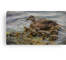 Mother duck & ducklings Canvas Print