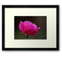 Rose With Morning Sprinkles Framed Print