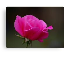 Rose With Morning Sprinkles Canvas Print