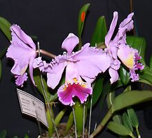 Cattleya Orchid at local Show by Heabar