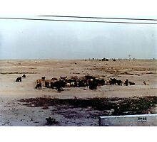 Livestock Herding Together Photographic Print