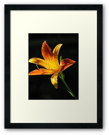 Sunny Day Lily by NatureGreeting Cards ©ccwri