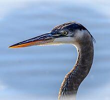 Great Blue Heron Portrait by Debra Martz