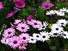 Dancing Daisies by Mary Campbell