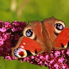 butterfly by Suzanne Forbes-Murray