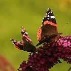 Two butterflies by Suzanne Forbes-Murray