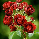 Red Roses from Rambures by Mirka Rueda Rodriguez