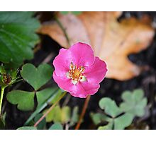 Strawberry Flower  Photographic Print