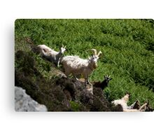 Feral goats on The Oa Canvas Print