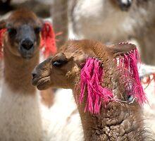 Llamas by Ben Ryan