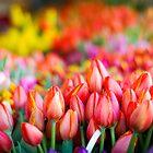 Tulip Market by Jason Weigner