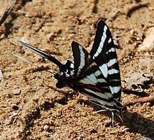 Zebra Swallowtail by Thayessharumrn