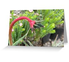 Extraordinary Kangaroo Paw Greeting Card
