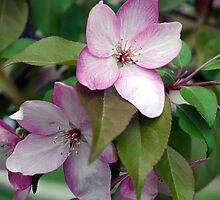 Apple Blossom by DiEtte Henderson