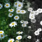 Faded Daisies by Thayessharumrn