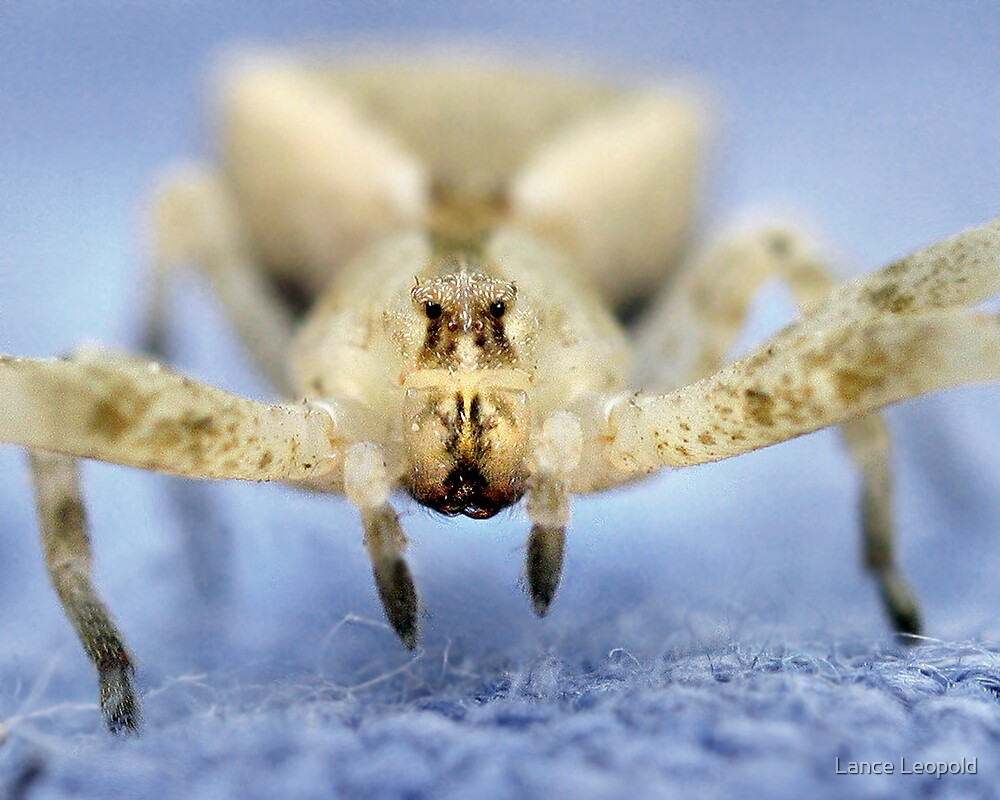 Crab Spider Close by Lance Leopold