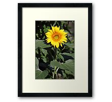 classic sunflower shot Framed Print