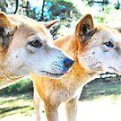 Australian Native Dingoes: Tyipa & Cooinda by George Petrovsky