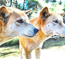 Australian Native Dingoes: Tyipa & Cooinda by George Petrovsky