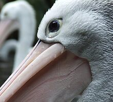 Pelican Eye by Paul Todd