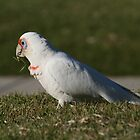 Long-billed Corella by MoonlightJo