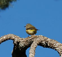 Eastern Yellow Robin by Tainia Finlay