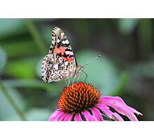 Painted Lady Butterfly on Echinacea Photographic Print
