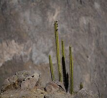 Colca Cacti by Ben Ryan
