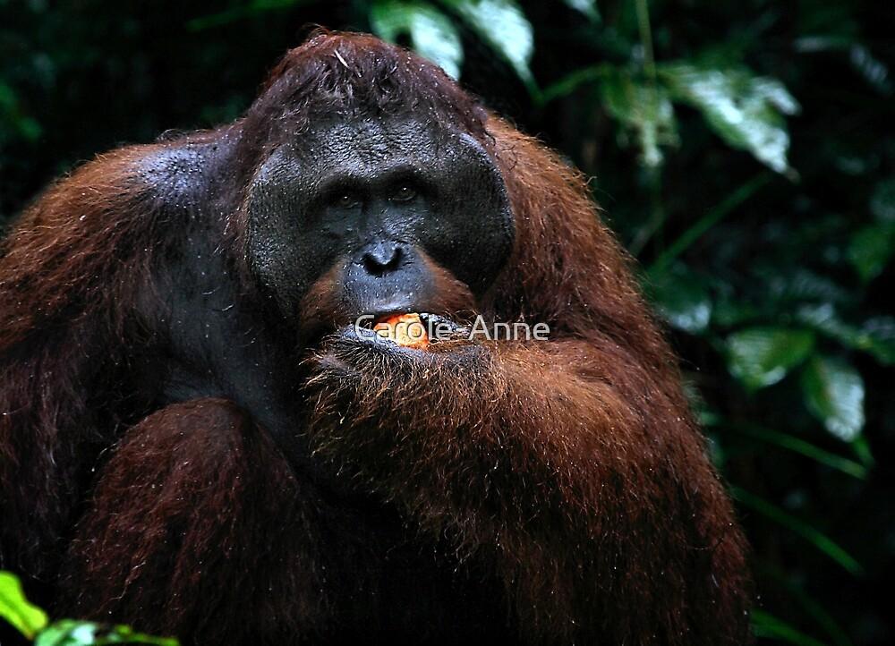 Large male Orangutan, Borneo   by Carole-Anne