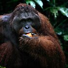 Large male Orangutan, Borneo   by Carole-Anne