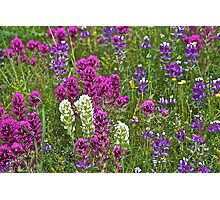 Lupines and Clovers Photographic Print