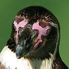 Pink face, black foot... by Gili Orr