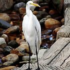Great Egret by Debbie Oppermann