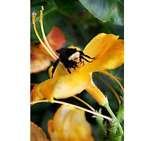 Bee and Tiger Lily  Photographic Print