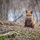 Kit Fox 2011-1 by Thomas Young