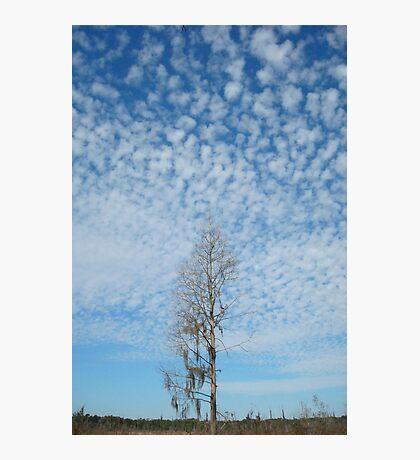 Cypress Under a Popcorn Sky Photographic Print