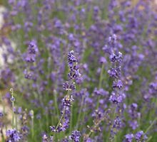 LAVENDER by Sharon A. Henson