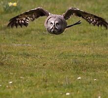 Great grey owl by Shaun Whiteman