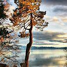 Pine Aglow by Barbara  Brown