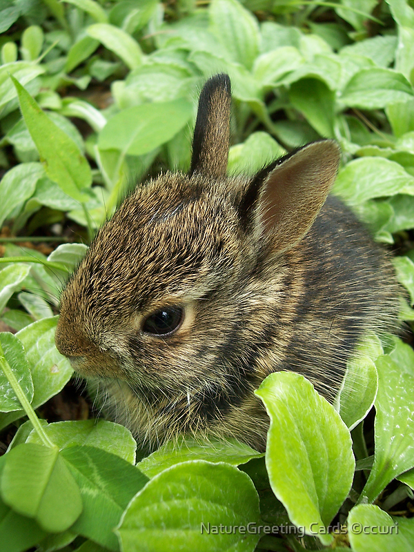 Sweet Baby Rabbit by NatureGreeting Cards ©ccwri