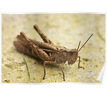 Common Field Grasshopper Poster