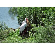 Two Storks Photographic Print