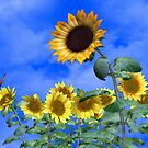 Sunflowers by Catherine Crimmins