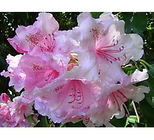 Pink Rhododendron Photographic Print