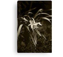 Sad Daffodil Canvas Print