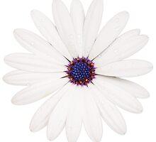 Daisy flower by Johan Larson