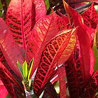 Colorful Croton by kauaichelle